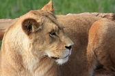 在动物园里的狮子 — 图库照片