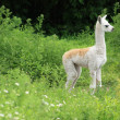 Stock Photo: Baby llama