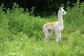 Llama bebé — Foto de Stock