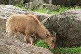 Bebek dağ keçisi — Stok fotoğraf