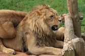 Lions at the Zoo — Stock Photo