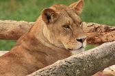 льва в зоопарке — Стоковое фото