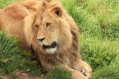 Lions på zoo — Stockfoto