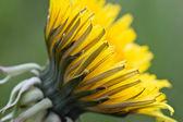 Sarı karahindiba — Stok fotoğraf