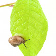 Little snail on leaf — Stock Photo