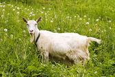 Goat in a dandelions field — Stock Photo