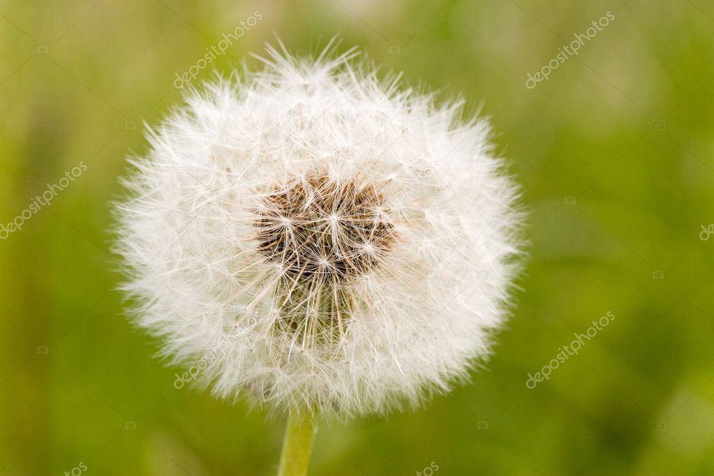close-up of   dandelion clock ,on green blurry background  — Stock Photo #3194929