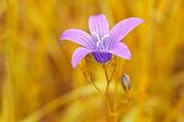 Flor de color púrpura sobre fondo amarillo borrosa — Foto de Stock