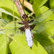 Blue dragon fly — Stock Photo