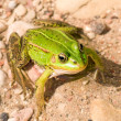 Stock Photo: Close-up of green frog