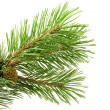 Green pine branch — Stock Photo #3686905