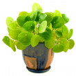 "Stock Photo: House plant ""pilea"""