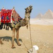 Egypt camel — Stock Photo