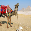 Stock Photo: Egypt camel