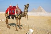 Egypt camel — Stock Photo