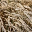 Winter wheat field — Stock Photo