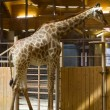 Giraffe in zoo - Stock Photo