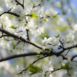 Flowering cherry-tree — Stock Photo