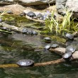 Turtles - Stock Photo