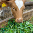 Calf eating green rich fodder — Stock Photo #3157418