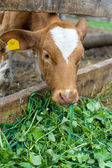 Calf eating green rich fodder — Stock Photo