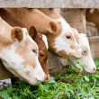 Calves eating green rich fodder — Stock Photo #3163645