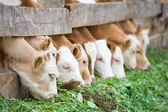 Calves eating green rich fodder — Stock Photo