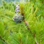 Cedar cones — Stock Photo #3218653