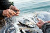 Manos tomar pescado fuera de una red — Foto de Stock
