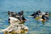 Baikal seals — Stock Photo