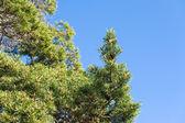 Pine with unripe cones — Stock Photo