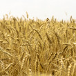 Ripe wheat against blue sky — Stock Photo #3760697