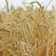 Ripe wheat against blue sky — Stock Photo #3760750