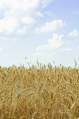Ripe wheat against blue sky — Stok fotoğraf