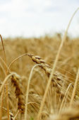 Ripe wheat against blue sky — Stock Photo