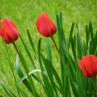 Royalty-Free Stock Photo: Tulips.