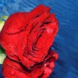 Red rose on a water — Stock Photo