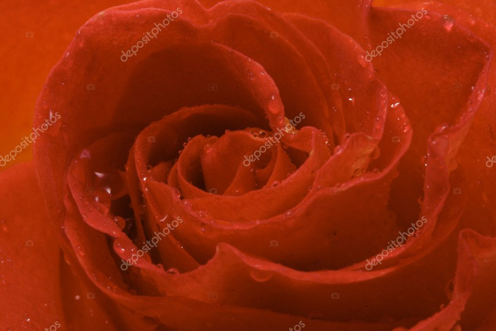 Red rose — Stock Photo #5082506