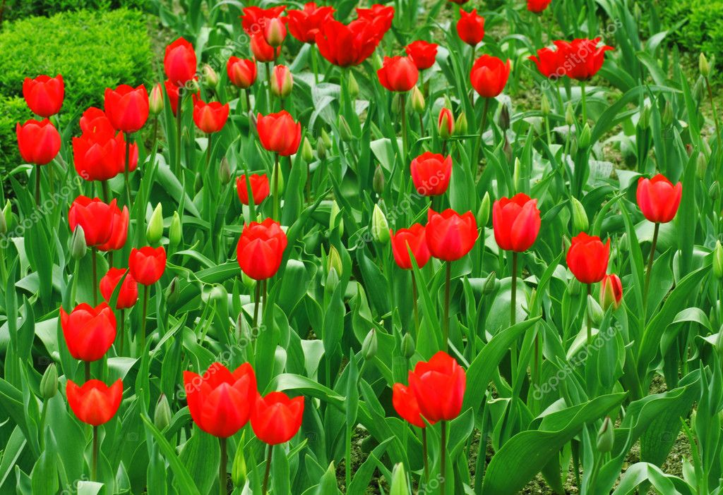 Tulips.   Stock Photo #5082733