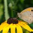 Stock Photo: Butterfly on sunflower