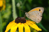 Butterfly on sunflower — Stock Photo