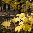 Autumn forest — Stock Photo #3895574