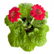 Stock Photo: Red flowers on a pot isolated
