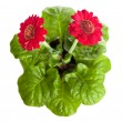 Red flowers on a pot isolated — Stock Photo
