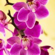 Pink orchids on yellow — Stock Photo #2795555