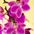 Stock Photo: Pink orchids on yellow