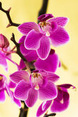 Pink orchids on yellow — Stock Photo
