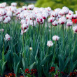 White tulips in the garden — Stock Photo #2820979