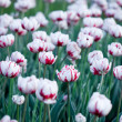 White tulips in the garden - Foto Stock