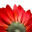 Red flower isolated on white — Stock fotografie